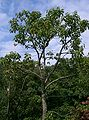 Cinnamomum camphora2.jpg