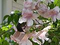 Cinnyris osea-Ornithophily-Bignoniaceae-Jerusalem.jpg