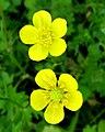 Cinquefoil -- Potentilla recta flower.jpg