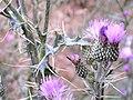 Cirsium pyrenaicum Inflorescencia 2009-7-25 HoyaPedraza SierraNevada.jpg
