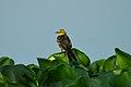 Citrine wagtail (Motacilla citreola).jpg