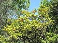 Citrus myrtifolia (villa Hanbury, Italy).jpg
