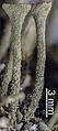 Cladonia fimbriata 1.jpg