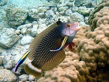 English: A dragon wrasse, Novaculichthys taeni...