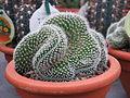 Cleistocactus strausii var. cristatus.jpg