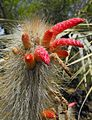 Cleistocactusjujuyensis.jpg
