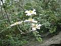 Clematis phlebantha (20769378543).jpg