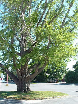 Clinton, Oneida County, New York - Ginkgo tree near the center of the village of Clinton, New York