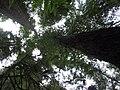 Coast redwood, Sequoia sempervirens (16017203639).jpg