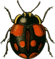 Coccinella bipunctata2 Jacobson.png