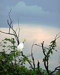 Cockatoo Sentinel.jpg