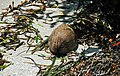 Coconut & Thalassia seagrass on marine beach (Captiva Island, Florida, USA) (26076621771).jpg