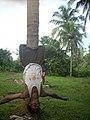 Coconut tree climbing DSCN0342.jpg
