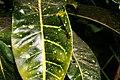 Codiaeum variegatum 54zz.jpg