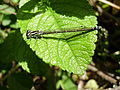 Coenagrion female on a Rosa rugosa page.jpg