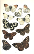 Colemans British Butterflies Plate V.png