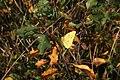 Colias crocea - img 15527.jpg