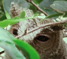 Collared Scops Owl Eye.jpg