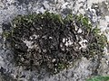 Collema cristatum (L.) F.H. Wigg 301189.jpg
