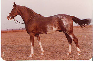 Mangalarga Marchador - Mangalarga Marchador (São Paulo type); all colors are eligible for registration.
