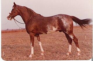 Mangalarga horse breed
