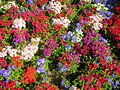 Colorful flowers (2717762652).jpg