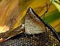 Common Baron Euthalia aconthea UN by Dr. Raju Kasambe DSCN9227 (1).jpg