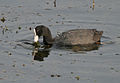 Common Coot (Fulica atra) in Hyderabad, AP W IMG 7625.jpg