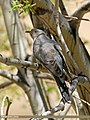 Common Cuckoo (Cuculus canorus) (32936485462).jpg
