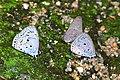Common Hedge Blues (Acytolepis puspa lambi) (8731515326).jpg