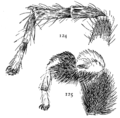 Common Spiders U.S. 124-5.png