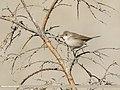 Common Whitethroat (Sylvia communis) (44960706704).jpg