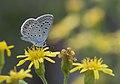 Common blue - Çokgözlü mavi.jpg