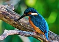 Common kingfisher, October 2015, Osaka VII - sRGB.jpg