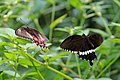 Common mormon (Papilio polytes) courting f romulus (left) m right.jpg