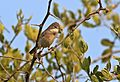 Common whitethroat, Sylvia communis at Zaagkuildrift Road near Kgomo Kgomo, Limpopo, South Africa (33526108356).jpg