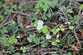 Common wood-sorrel - Oxalis acetosella - panoramio.jpg