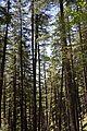 Conifers - Green Valley 2014-05-08 1630.JPG