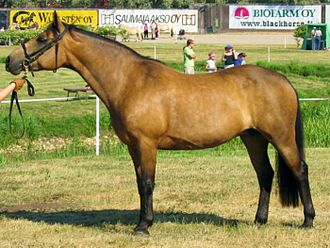 The Connemara pony is a larger pony which occasionally matures over 14.2 hands (58 inches, 147 cm). Connemara mare.jpg