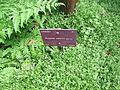Conservatoire botanique national de Brest-Poupartia castanea-15 08 02-Filyg2 (20047463010).jpg