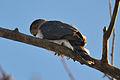Cooper's Hawk (Accipiter cooperi) (16542263552).jpg