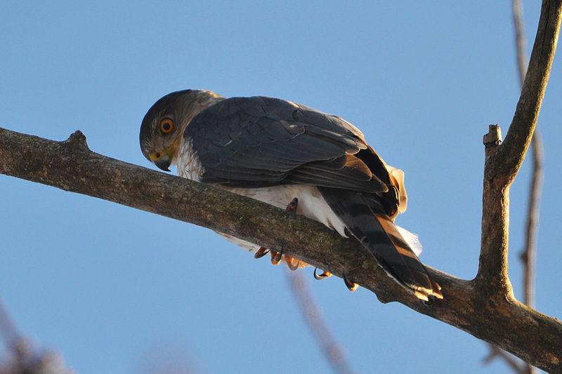 File:Cooper's Hawk (Accipiter cooperi) (16542263552).jpg