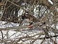 Cooper's hawk feeding on a blue jay 14.jpg