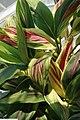 Cordyline fruticosa Kiwi 1zz.jpg