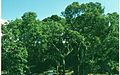 Cork oak forest with harvested bark.jpg