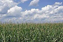 Campo de maíz del sur de Ohio.