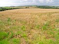 Cornfield near Sheepwash Farm - geograph.org.uk - 508591.jpg
