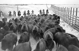 Buffalo National Park - Corraling buffalo in Wainwright Buffalo Park (1925). Bison were rounded up in Wainwright, Alberta, and transported by land and river to Wood Buffalo National Park in the far north of Alberta.