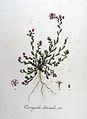 Corrigiola littoralis — Flora Batava — Volume v8.jpg