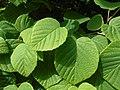 Corylopsis spicata 2017-06-25 2986.jpg